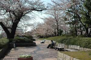 桜の下で1
